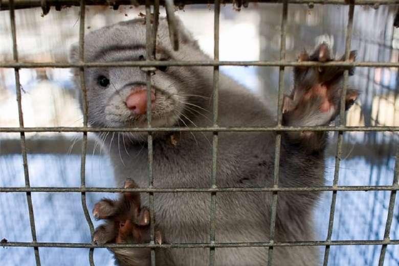 Covid olocausto animale in Danimarca 1 milione di visoni uccisi coi gas