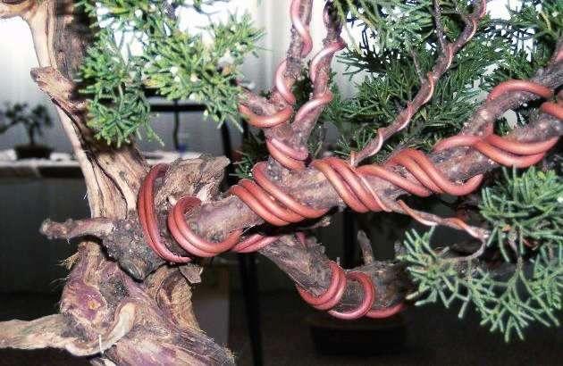 Potatura bonsai fil di ferro