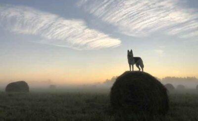 Il mito dell'Alfa dominante: il sacrifico senza il sacro